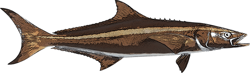 Cobia Orlando Fishing